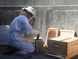 A beekeeper moves more bees into the hive.