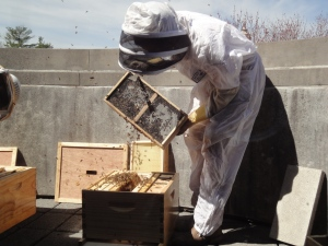 A beekeeper shakes bees out of a box into the hive; lots of bees flying around in the air.