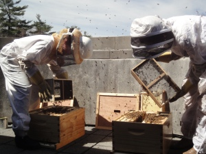 Both beekeepers shake boxes of bees into the hives.