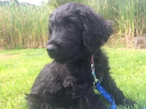 A black poodle/retriever mix puppy.