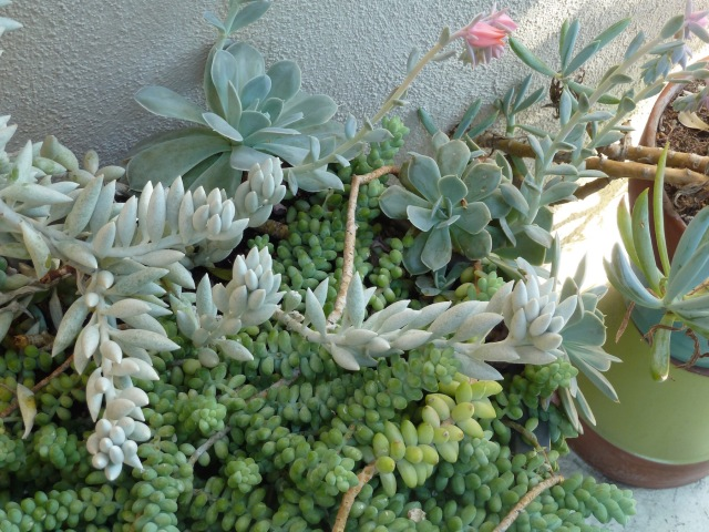 Succulents on a patio